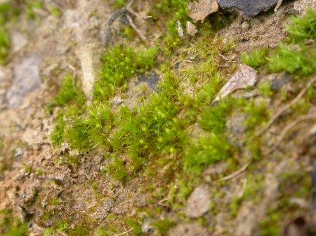 Picture of Pseudephemerum nitidum