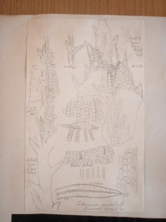 A drawing of Atrichum undulatum