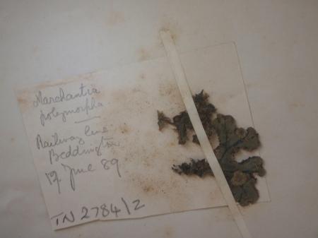 Pictture of herbarium specimen of Marchantia polymorpha