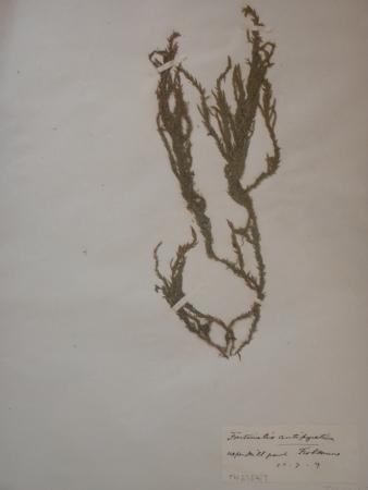 Picture of herbarium specimen of Fontinalis antipyretica